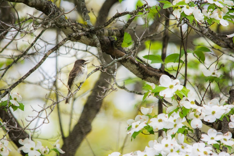 Eastern Phoebe singing in dogwood tree