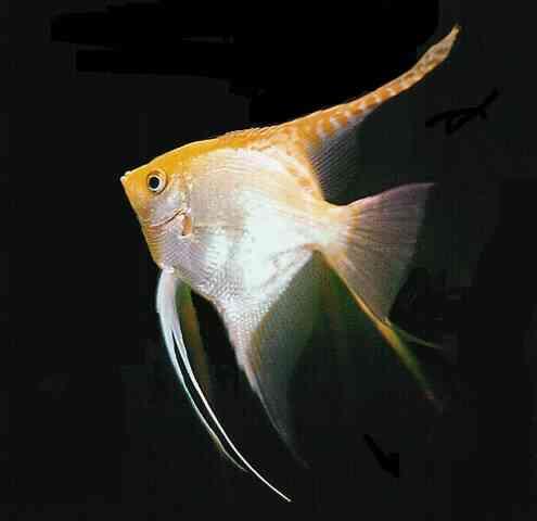 ... angel assorted angelfish assorted veiltail angelfish black angelfish