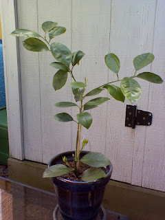 baby orange tree souvenir from Florida