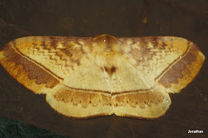 Monkey Moth(Female)
