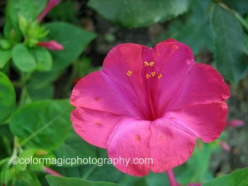 Four-o'clock flower-closeup
