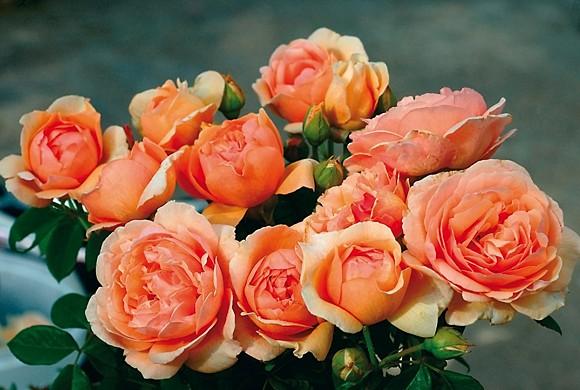 Nicole Mioulane rose сорт розы фото