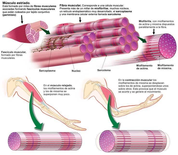 Sistema Muscular (Musculotendinoso)