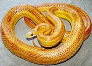 Imagen de Serpiente de maiz