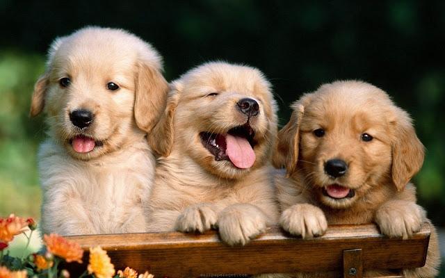 Beautiful And Cute Labrador Puppies Wallpaper