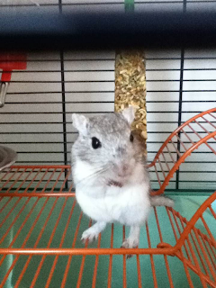 Grey Gerbil
