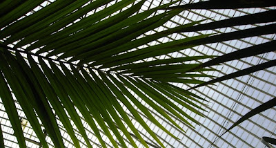 Palm fronds against the roof of the greenhouse
