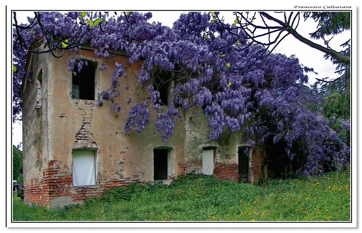 Ilclanmariapia il glicine for Bouganville fioritura