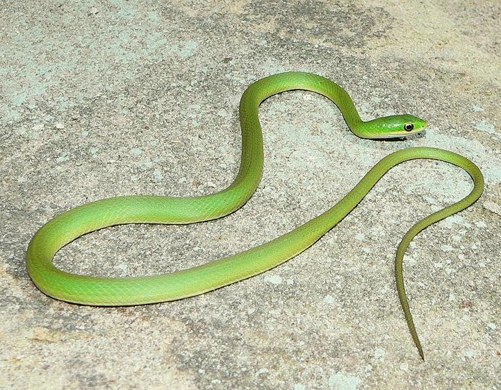 SUN SHINES: Green Snakes: sunshineamazings.blogspot.com/2011/04/green-snakes.html