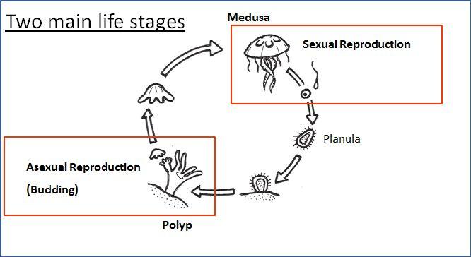 The Offshore Aquaholic Jellyfish Bio 101 Local Identification