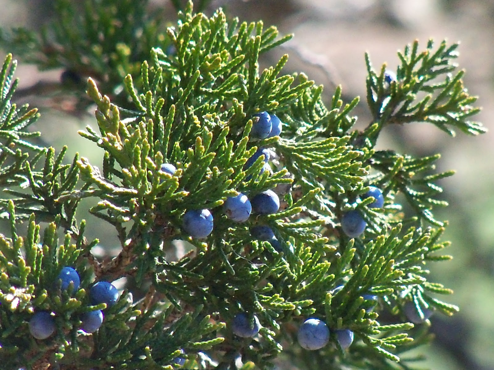 Plant journeys conifer tree potions solstice medicine for The juniper