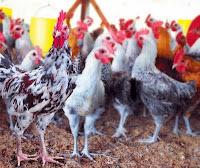 Peluang Bisnis Ayam Kampung Cukup Menjanjikan