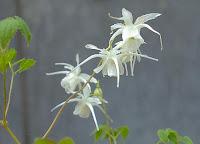 Epimedium grandiflorum Higoense