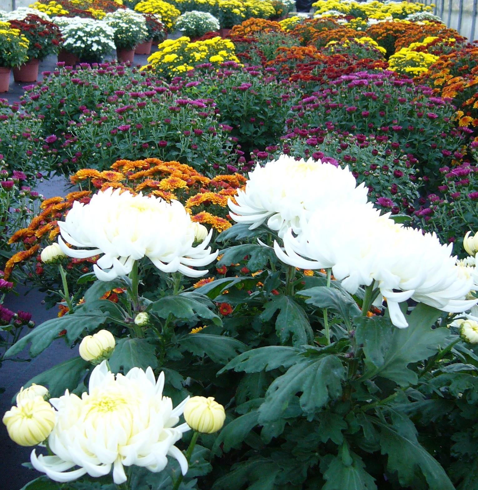 Vivaio biologico il ruscello crisantemi ciclamini - Crisantemi in vaso ...