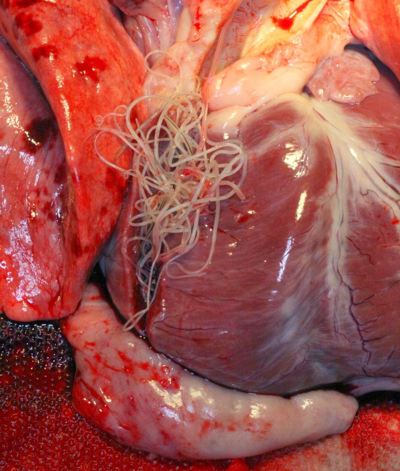 Heartworm Medicine For Small Dogs