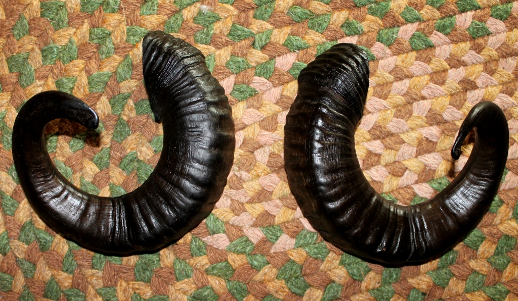 Sheep Horn For Sale Icelandic Sheep Horns