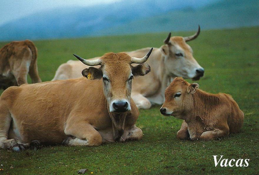 Postal Moro, Vacas