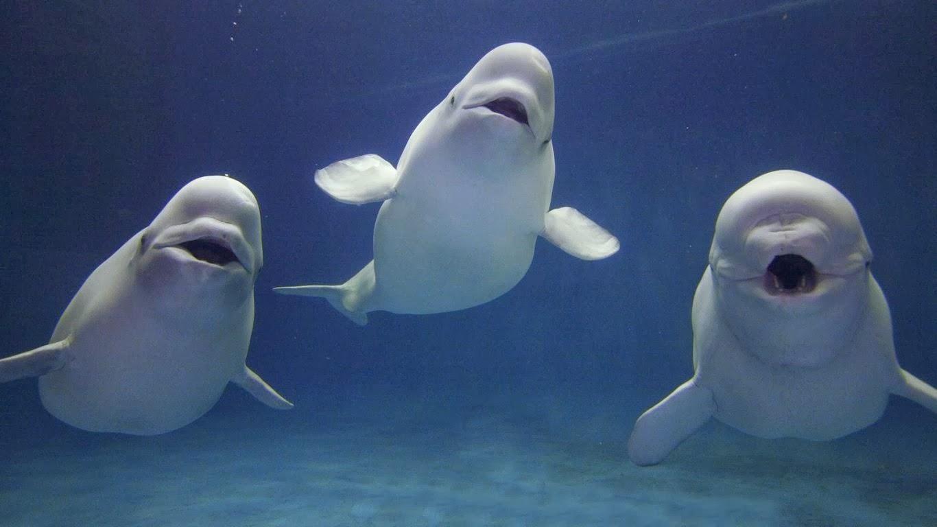 Beyaz balinaların fiziksel özellikleri
