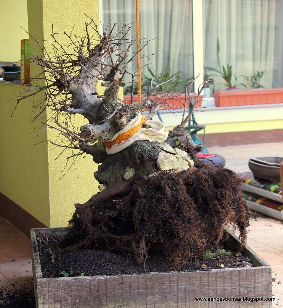 SandevBonsai Transplanting A Huge Carpinus