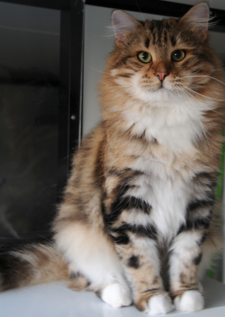 Snowgum Siberian Cats and Kittens: Earl's growing up!