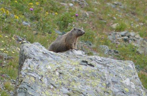 marmotte montagne isère chamrousse