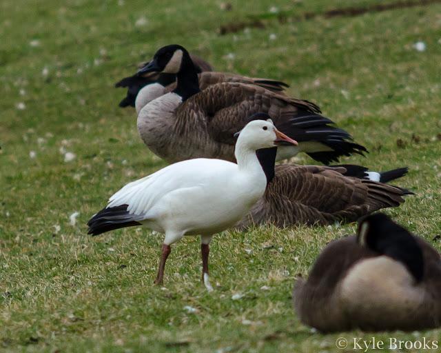 Snow Goose Ohio