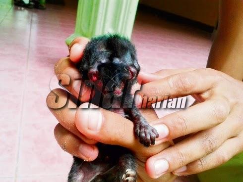 Anak Kucing Lahir Dengan Wajah Yang Luar Biasa