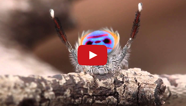 5 Flashy Facts About Peacock Spiders  Mental Floss