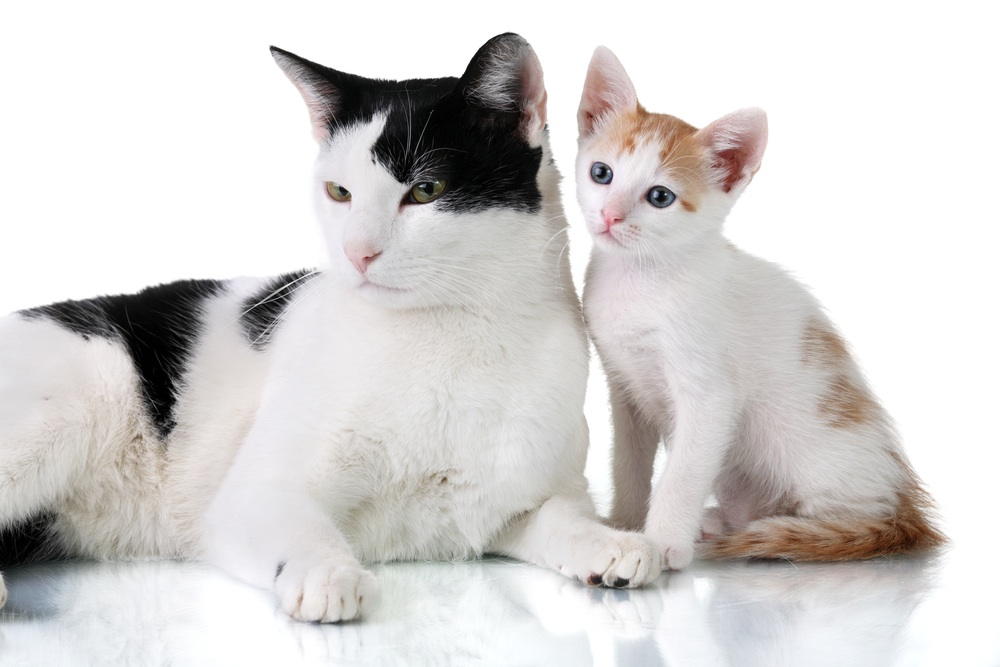 Introduce two adult cats