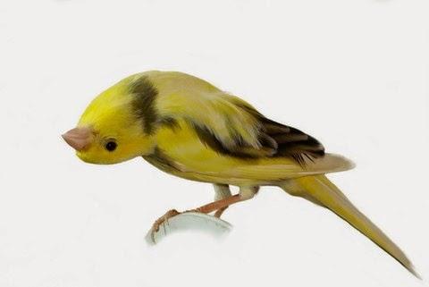 Download Uniknya Suara Burung Kenari Spanish Timbrado