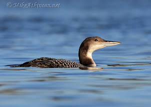 Great Northern Diver (2010) by Mike Atkinson