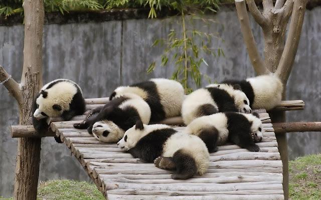 Club Panda