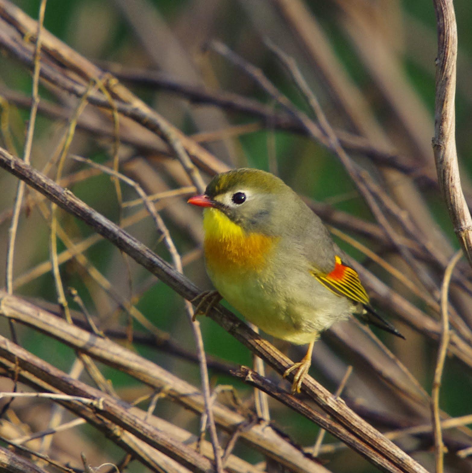 Le rossignol du japon ou l iothrix jaune une nouvelle for Oiseau jaune france