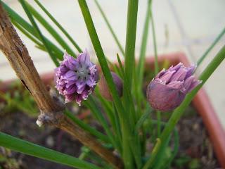 flor del cebollino