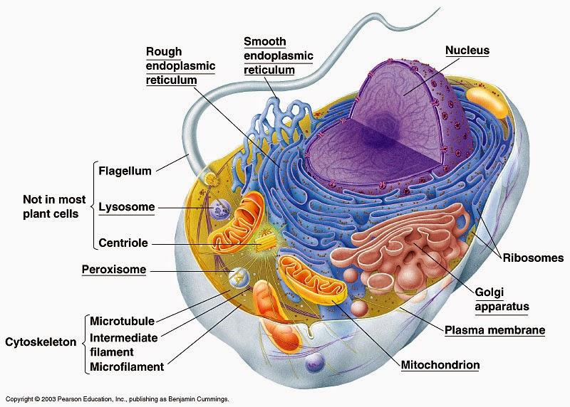 Mengenal Struktur Dan Fungsi Organel SEL