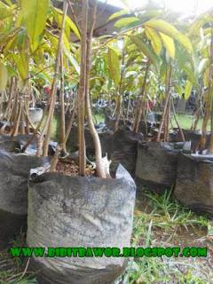 Bibit Durian Jogja Dari Jenis Bawor
