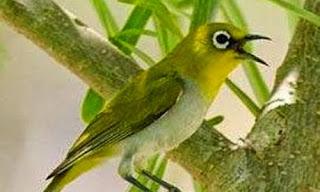 Tips Cara Telaten Dan Sabar Merawat Burung Kacamata Bagi Pemula Agar Cepat Gacor Dan Buka Paruh