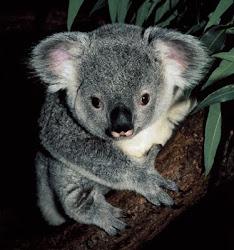 EN.KOALA (haiwan kesayangan ak)