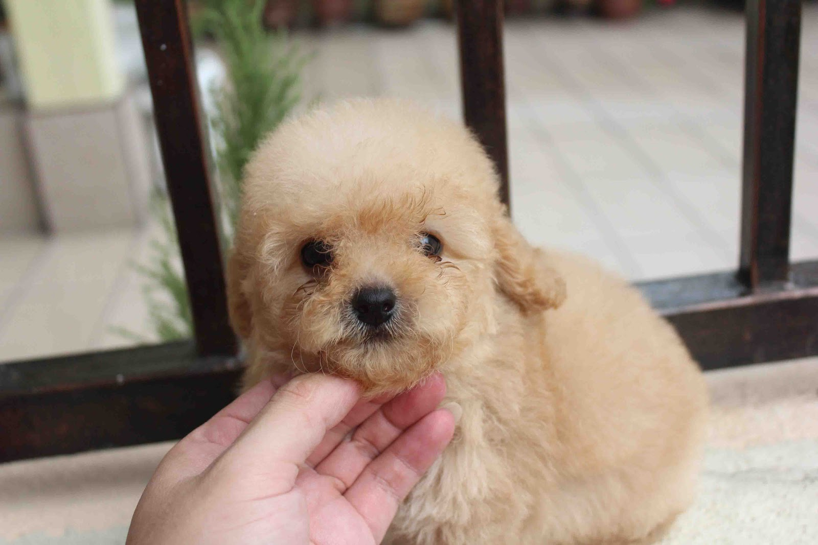 Lovelypuppy Apricot Toy Poodle Puppy At Rm599 Only