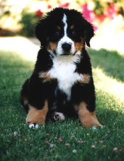 Bernese Mountain Dog Puppy Picture