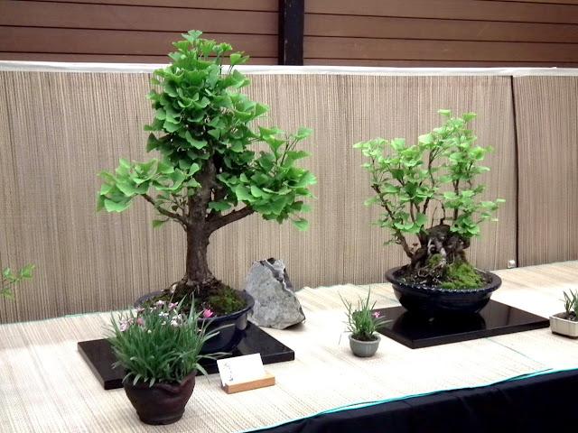 Ginkgo Biloba bonsai - Spring Bonsai Show, Vandusen, Vancouver