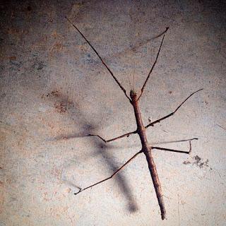 Un insecto palo del museo de insectos vivos Cappas Insectozoo en Vila Ruiva, Portugal