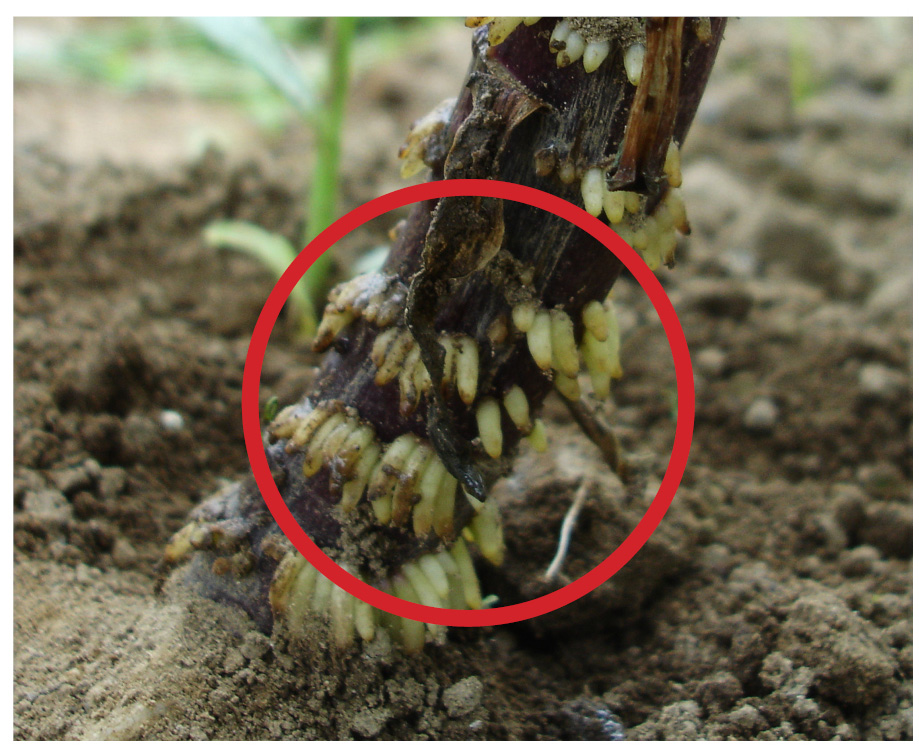 B&D Lilies Garden Blog: Lily Bulbs not buried deep enough? What to ...