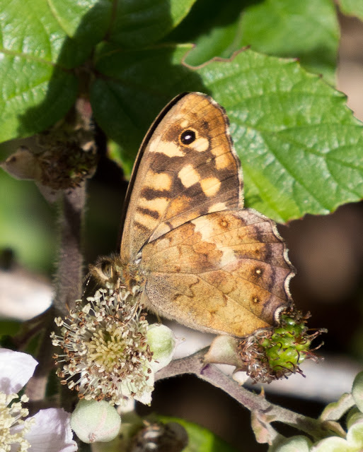 Speckled Wood (insula) - Scilly