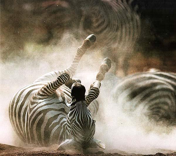 Зебра, катающаяся в пыли