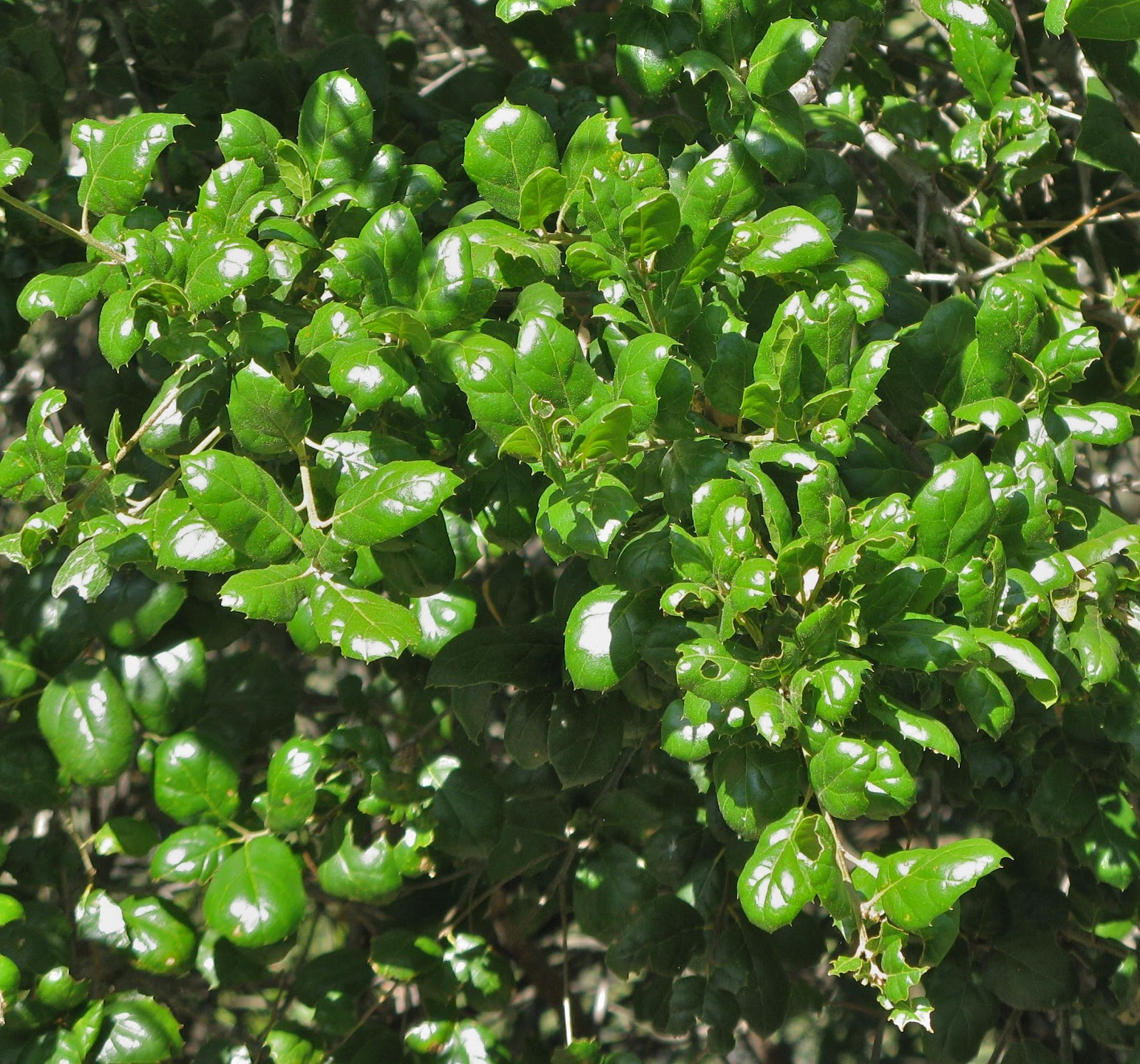 What Plants Grow Under Live Oak Trees : In the company of plants and rocks what s an old oak for
