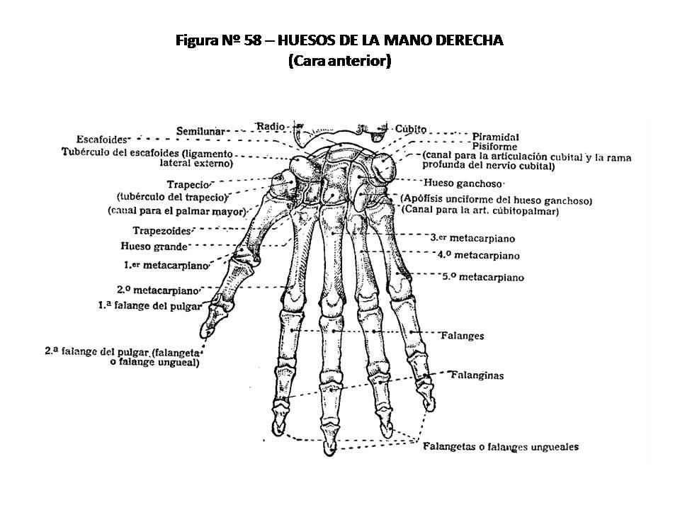 ATLAS DE ANATOMÍA HUMANA: 58. HUESOS DE LA MANO DERECHA, CARA ANTERIOR.