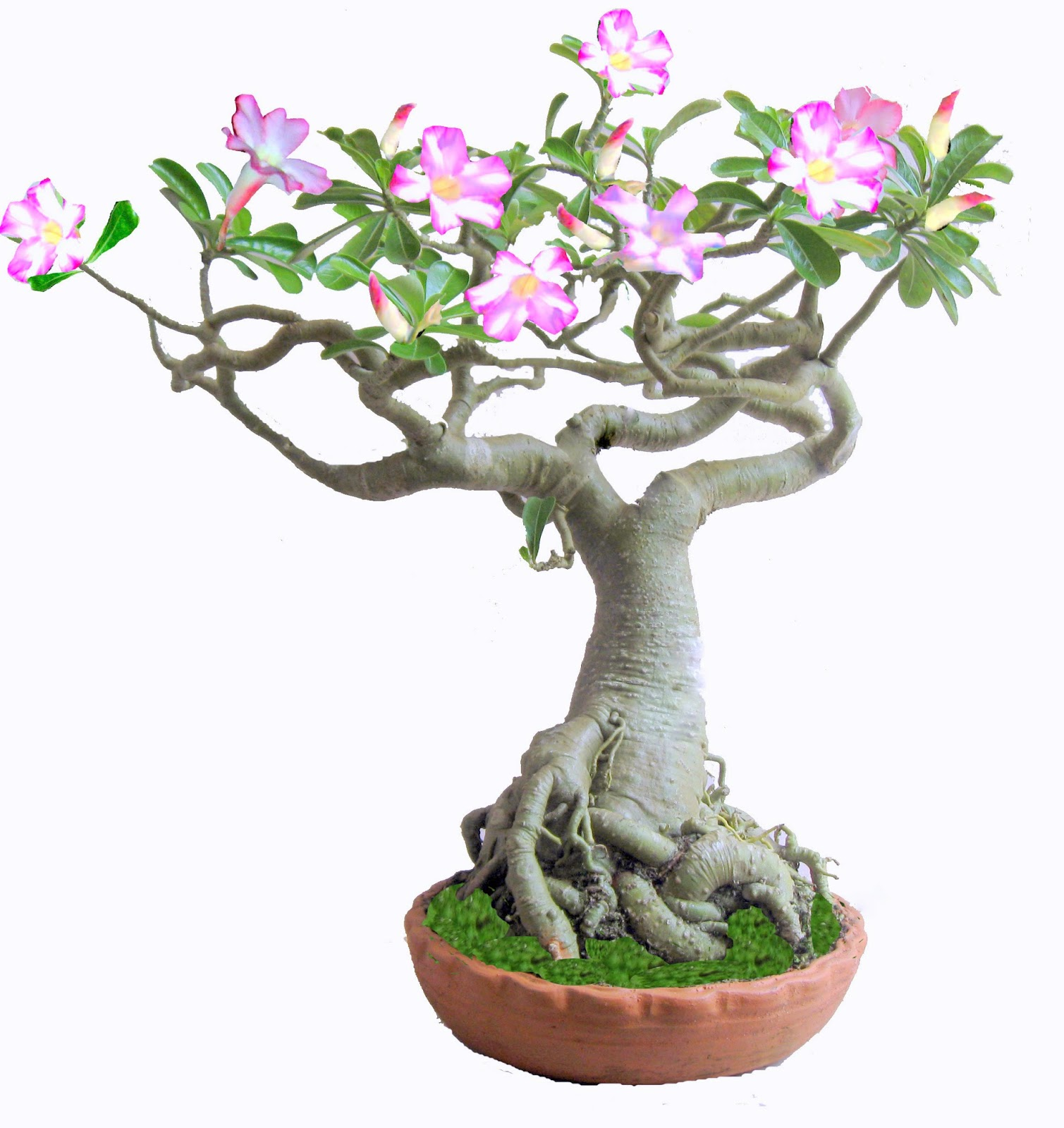 Bonsai Kerala Bonsai Art