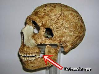 retromolar gap in Neandertal skull