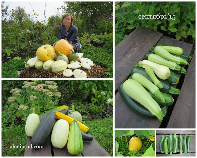 аленин сад, сентябрь, урожай, тыквы, кабачки, патиссоны, тыква-спагетти, спагетти